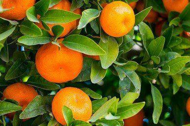 Citrus fertilizing time – Schedule zone 9-11