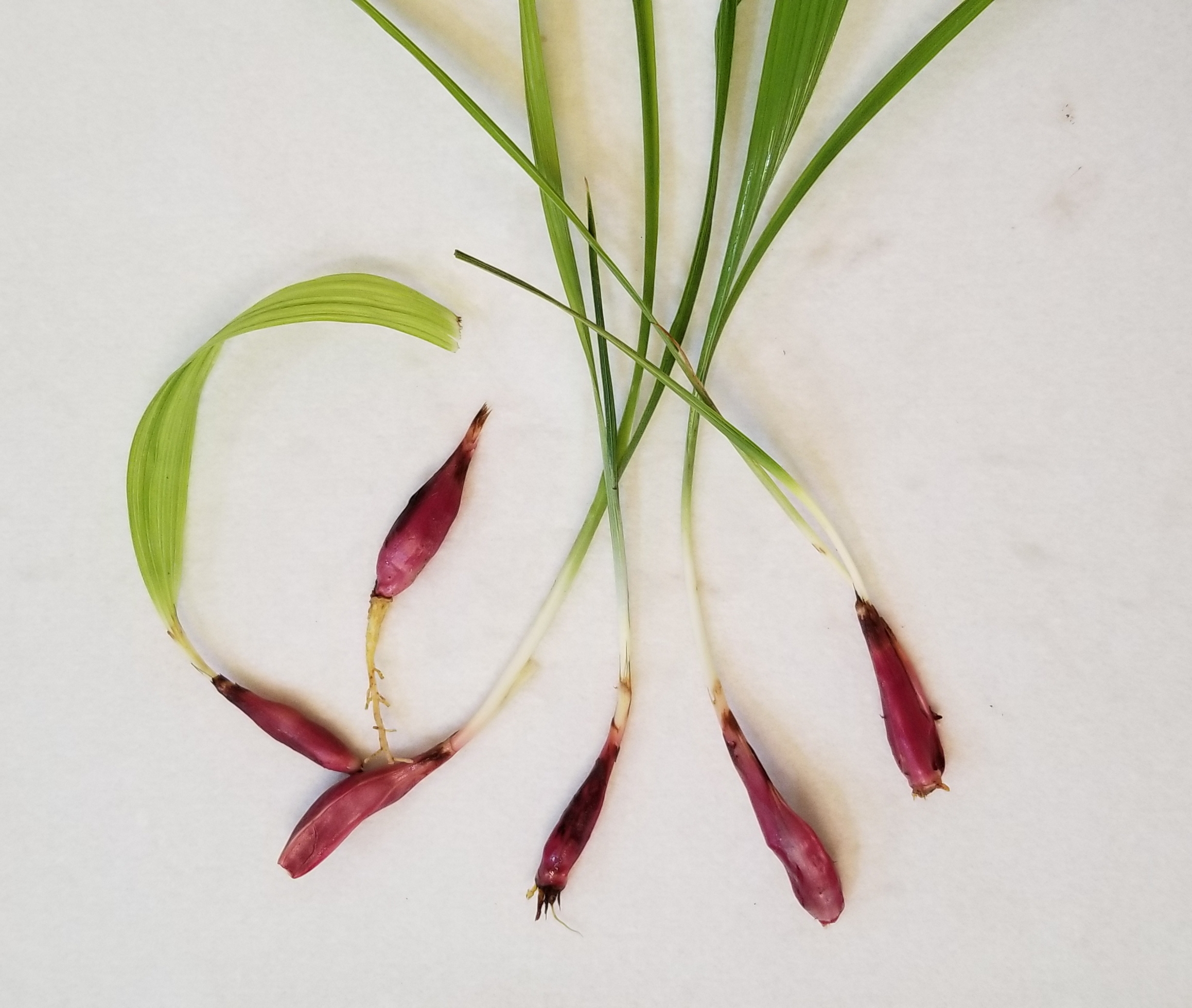 Dayak onion