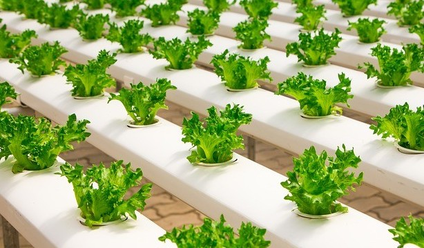 hydroponic vegetable gardening