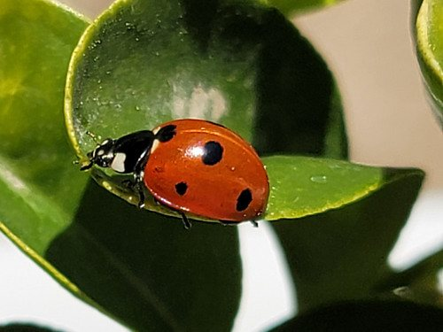Why You Shouldn't Buy Ladybugs