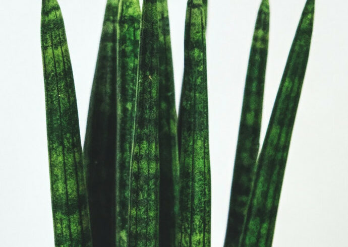 Guide To Sanseveria Cylindrica Care And Propagation