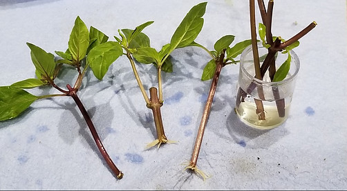 How To Propagate Thai Basil
